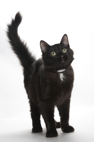 ethics of pet loss grief counseling class-image of black cat Little K
