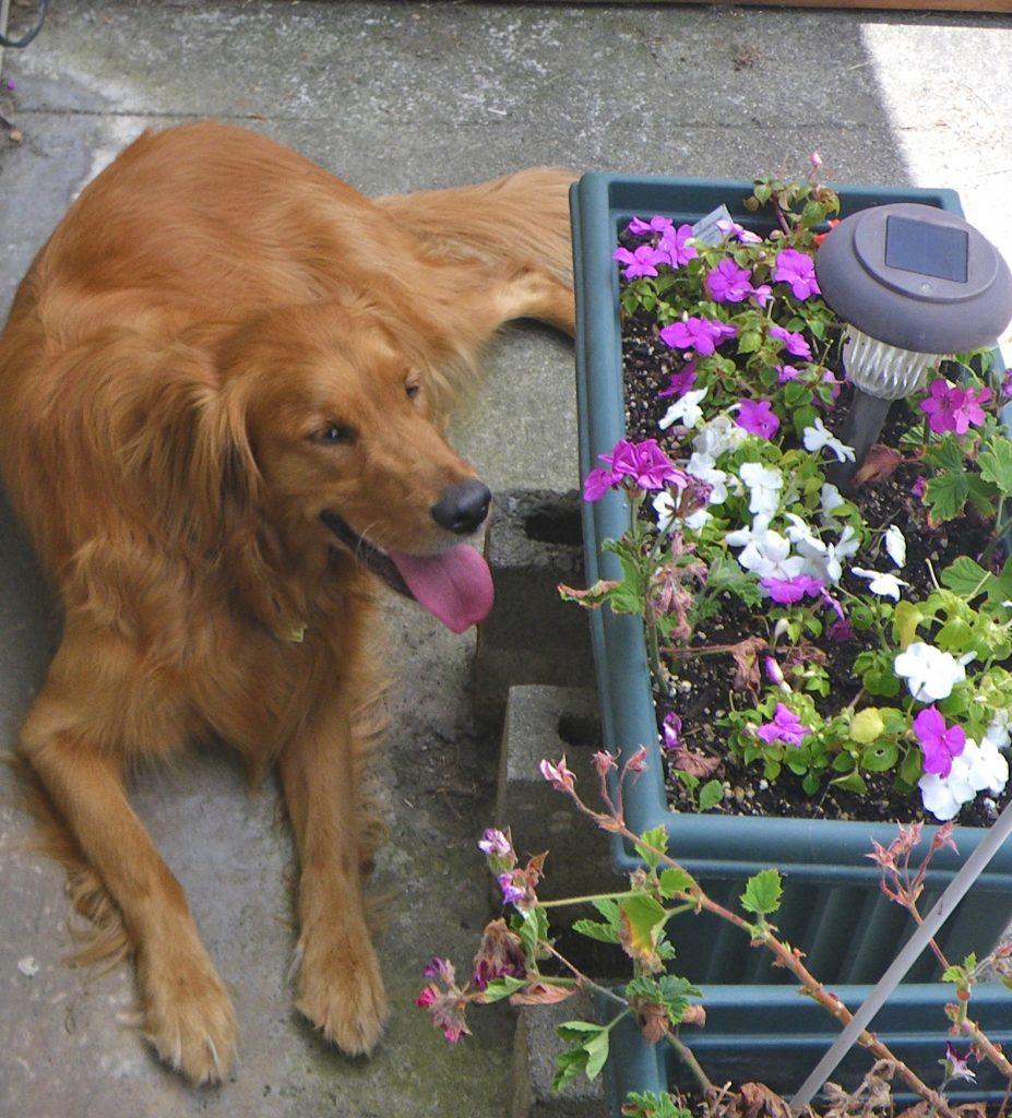 EFT for pet loss-image of golden retriever dog