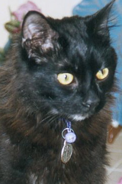 Compassion fatigue of pet loss grief counselors-rescued black cat KK