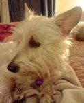 Ruah Bull's dog Annie