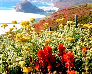 Flower essences to heal grief. Image-Golden yarrow growing in Big Sur, CA