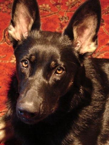 Animal euthanasia class-Bleck Shepherd dog